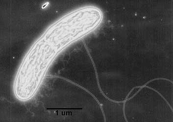 geobacter1.jpg